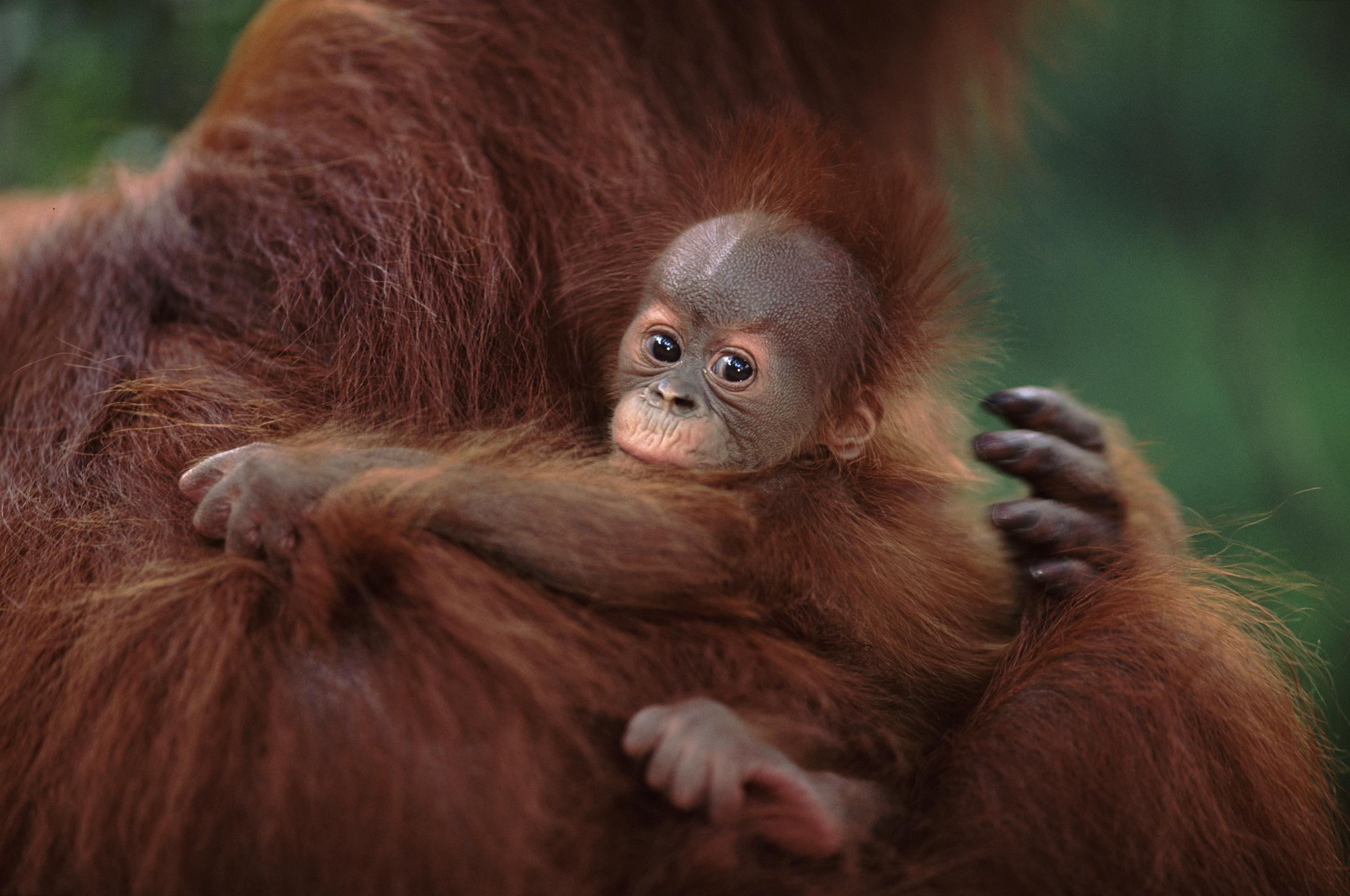 Pieni orangin poikanen äitiinsä tarrautuneena