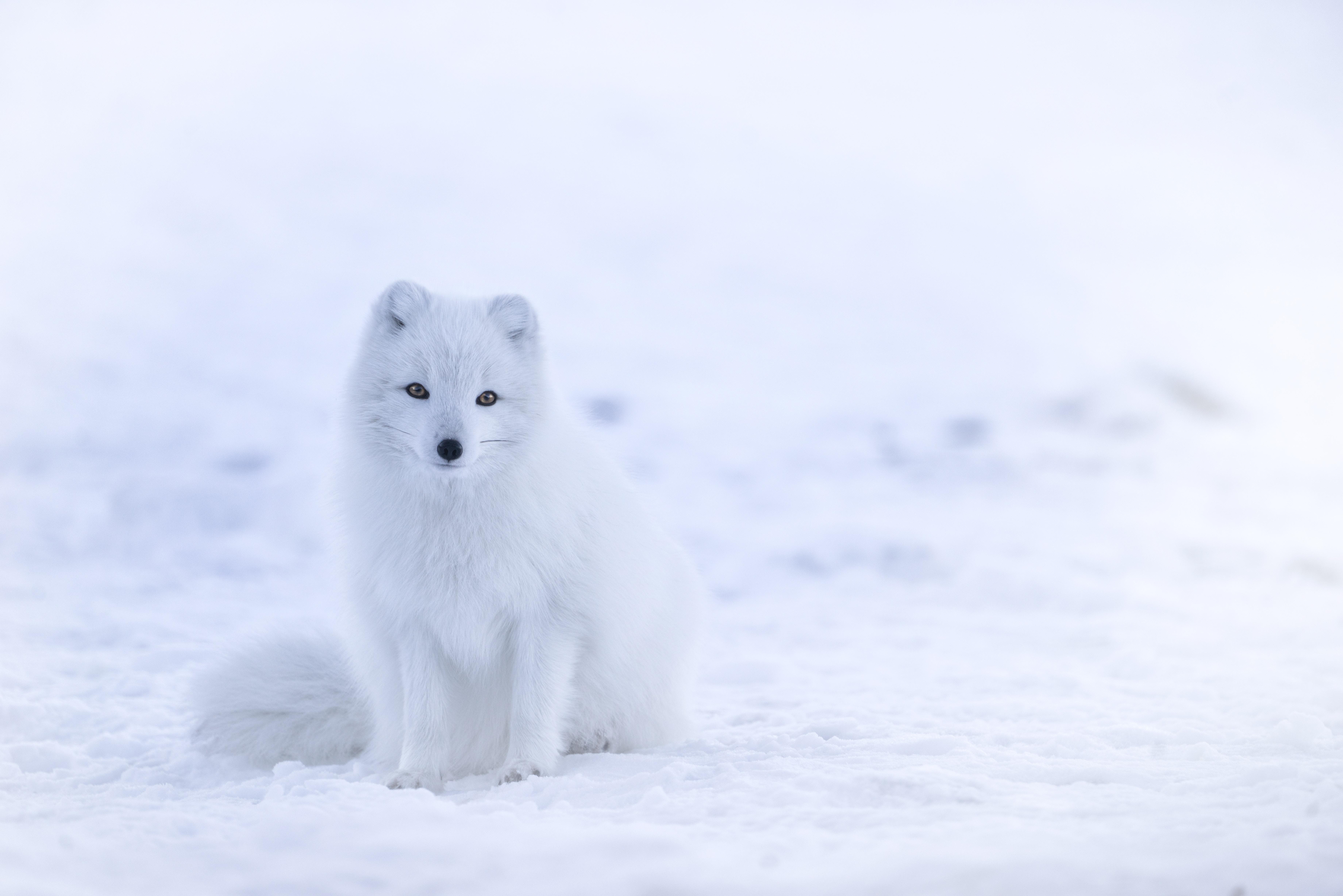 Valkoinen naali istuu lumella.
