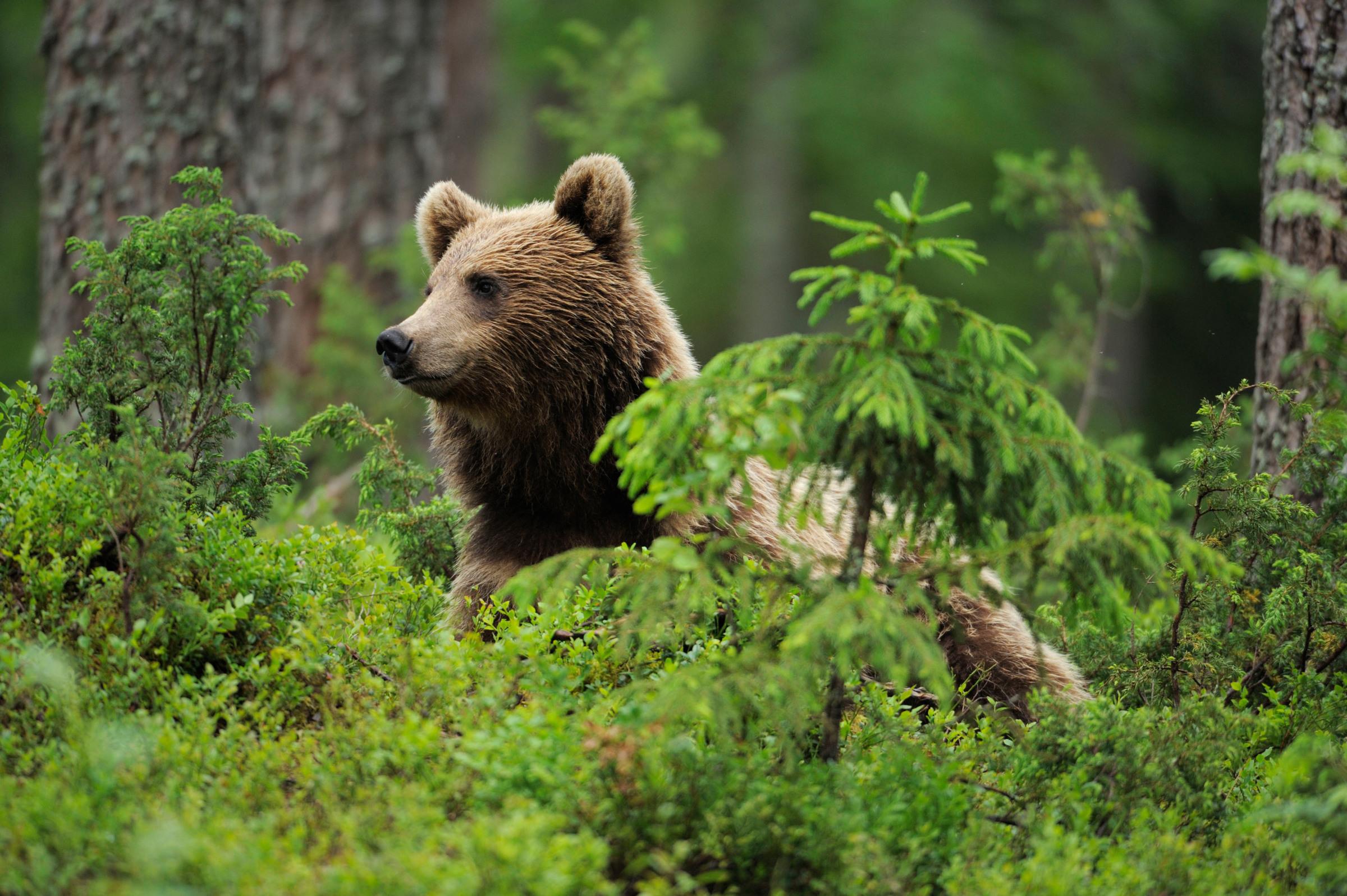 Karhu kurkkaa kasvillisuuden takaa Suomussalmella.