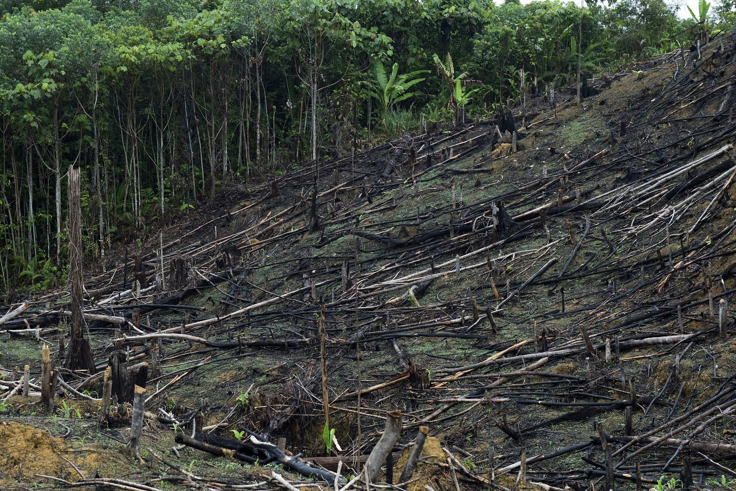 HAkattua ja poltetua sademetsää
