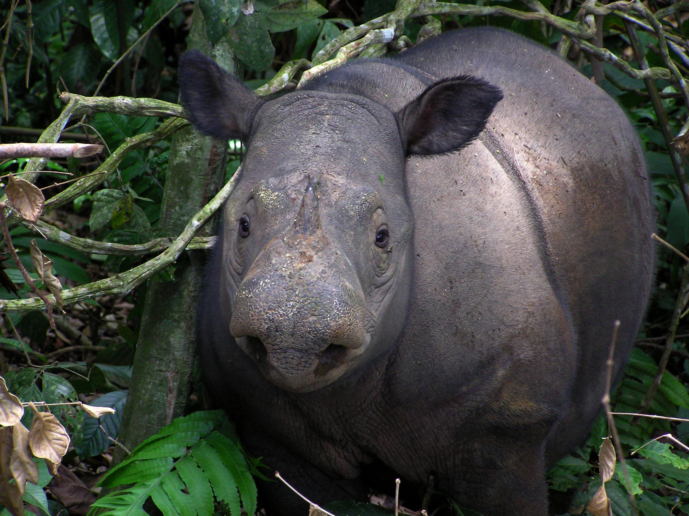 Sumatran sarvikuono seisoo metsän siimeksessä