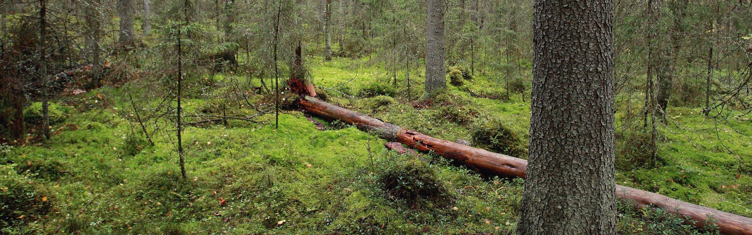 Kolme Vinkkiä, Joiden Avulla Tunnistat Luontoarvoiltaan Rikkaan Metsän
