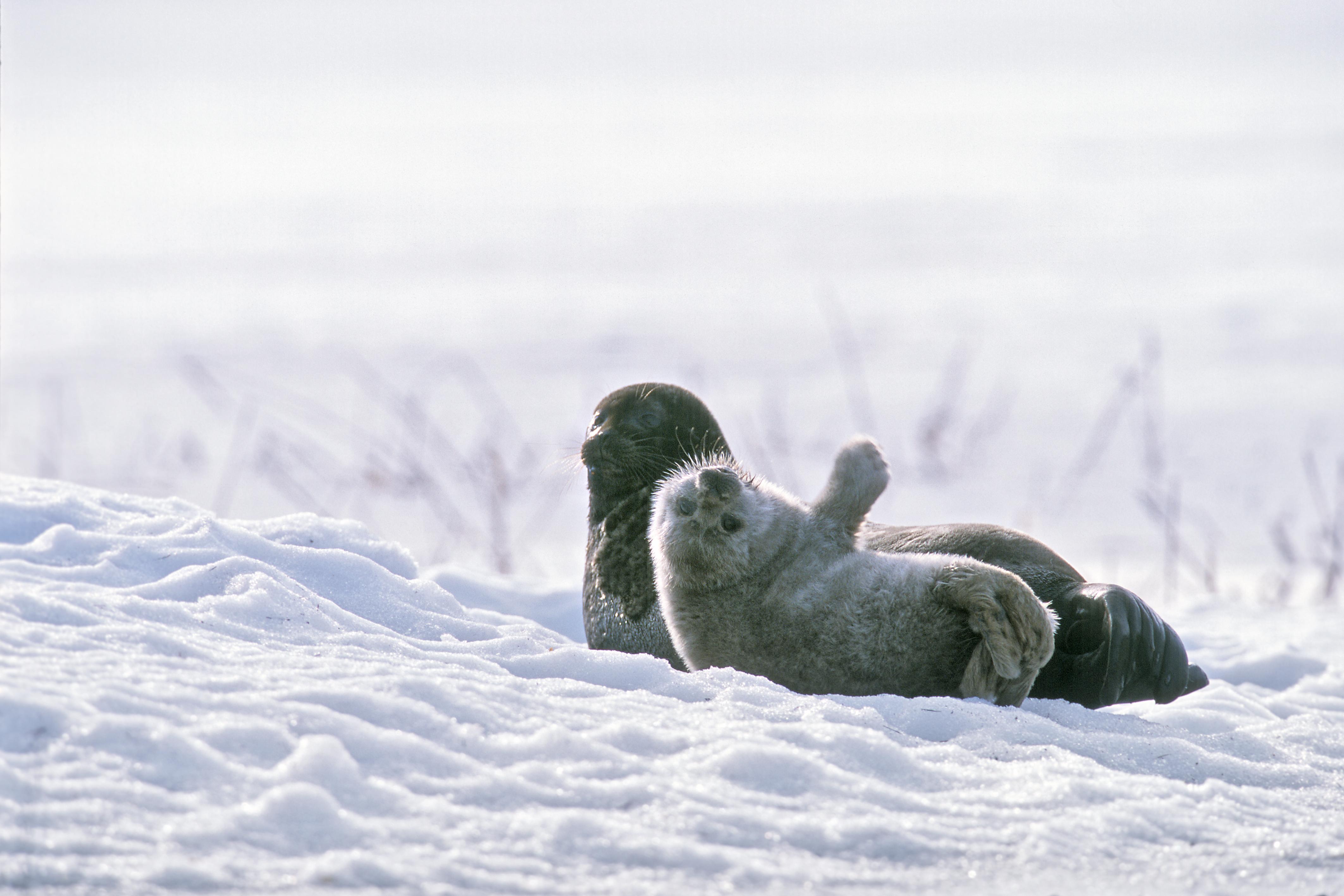 Saimaannorpan kuutti heiluttaa eväänsä lumella talvisessa maisemassa.
