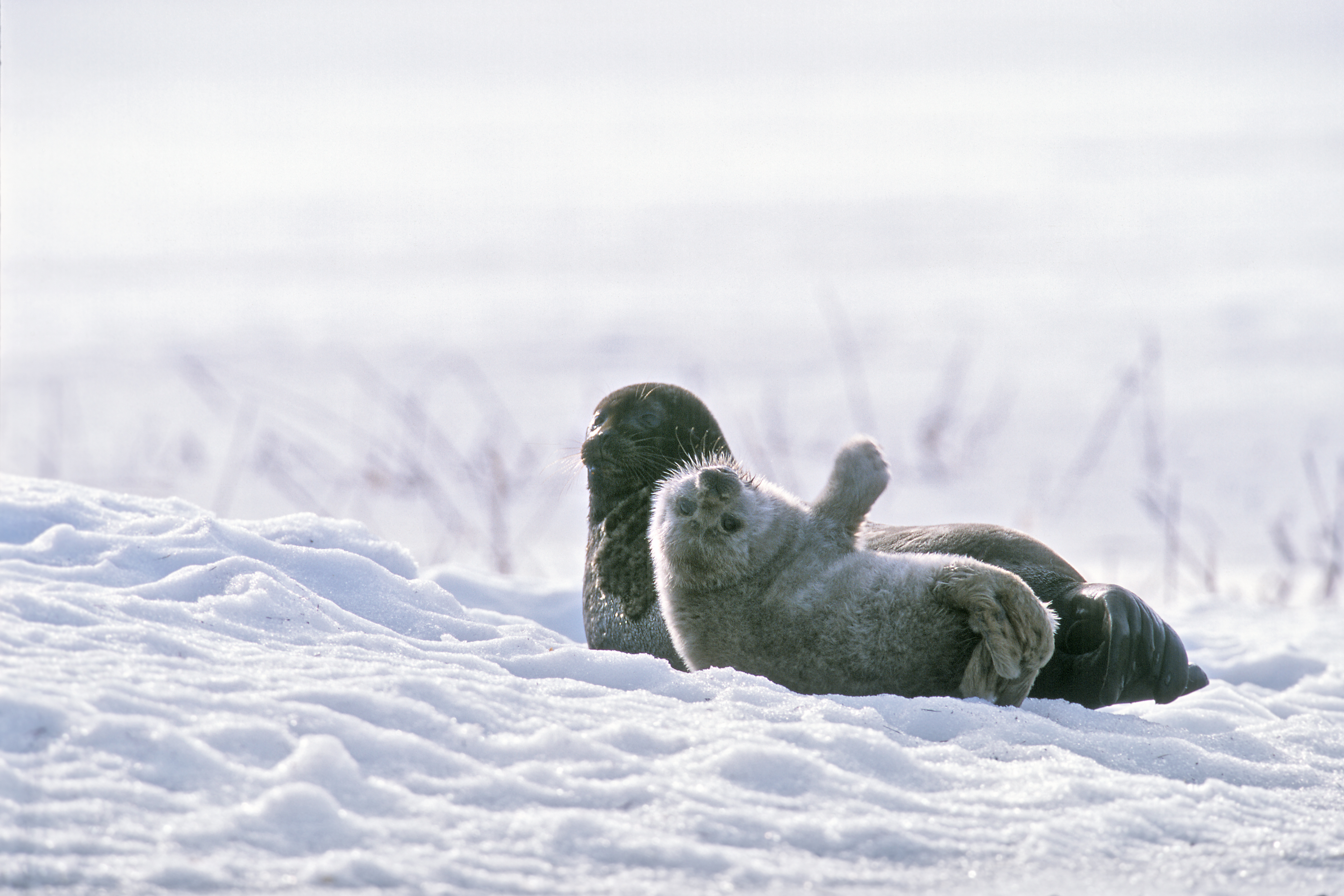 Saimaanorpan emo ja kuutti lumella.
