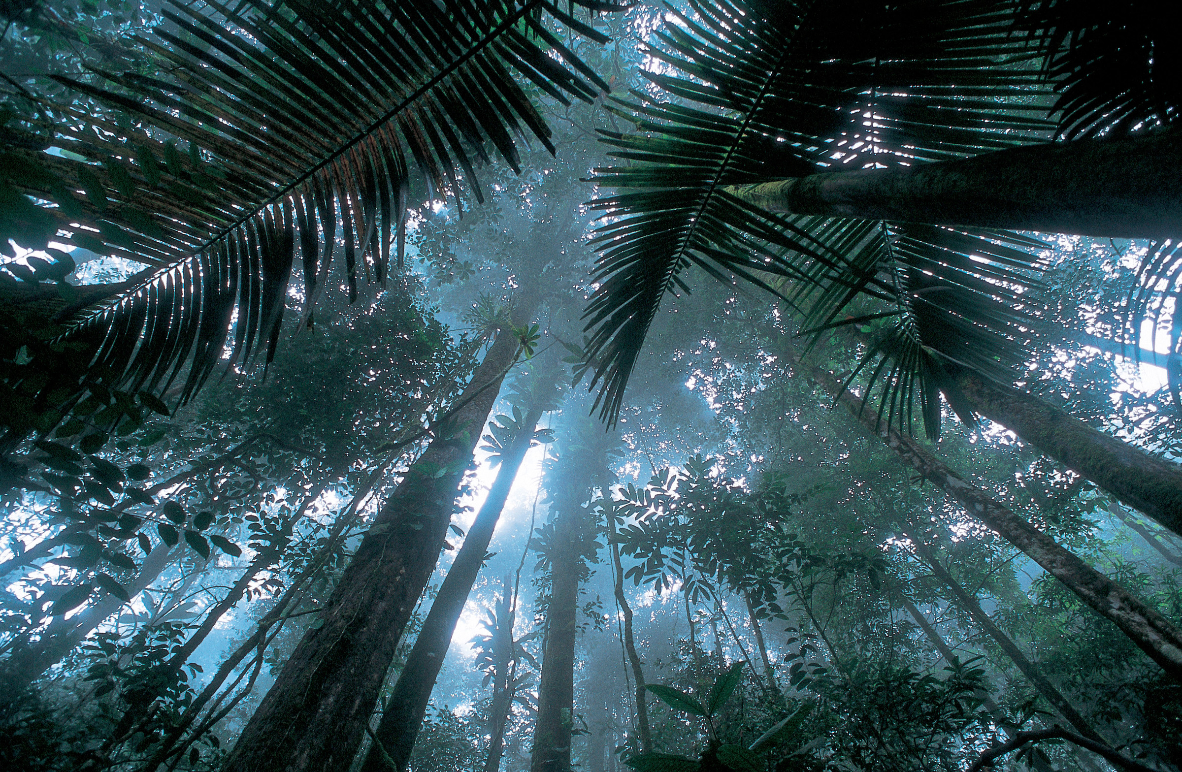 Alhaalta kuvattuja sademetsän puita sumuisessa ilmassa