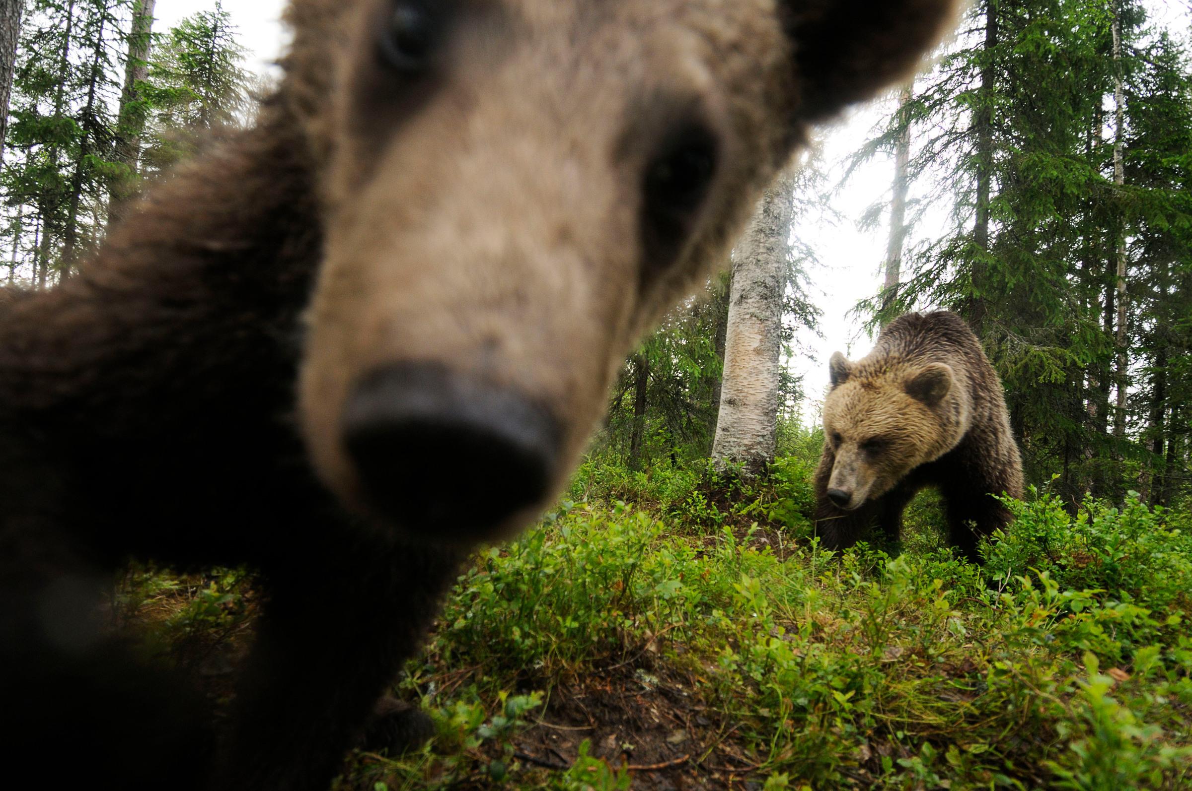 Lähikuva kahdesta karhusta Suomussalmella.