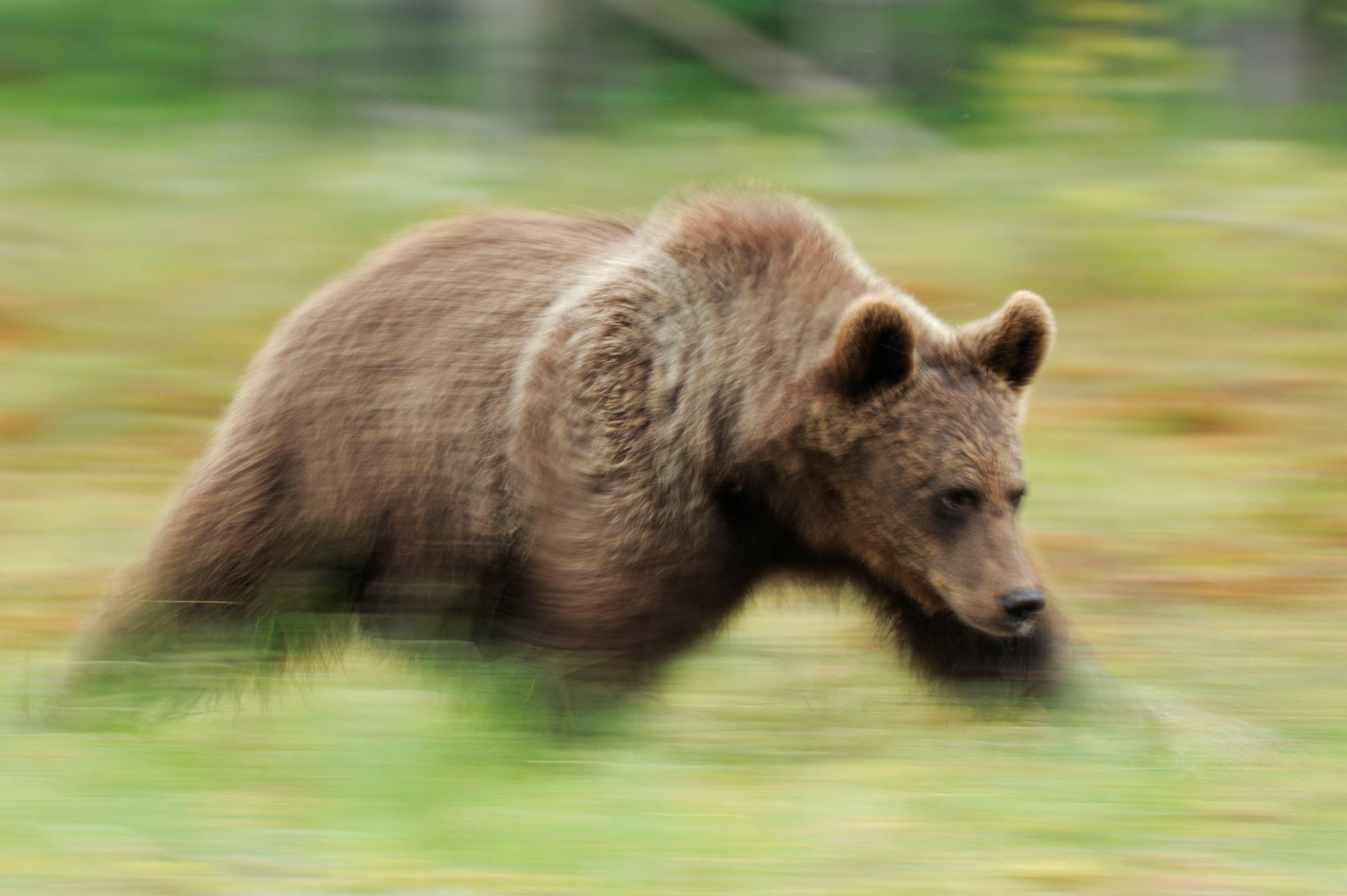 Karhu juoksee Suomussalmella.