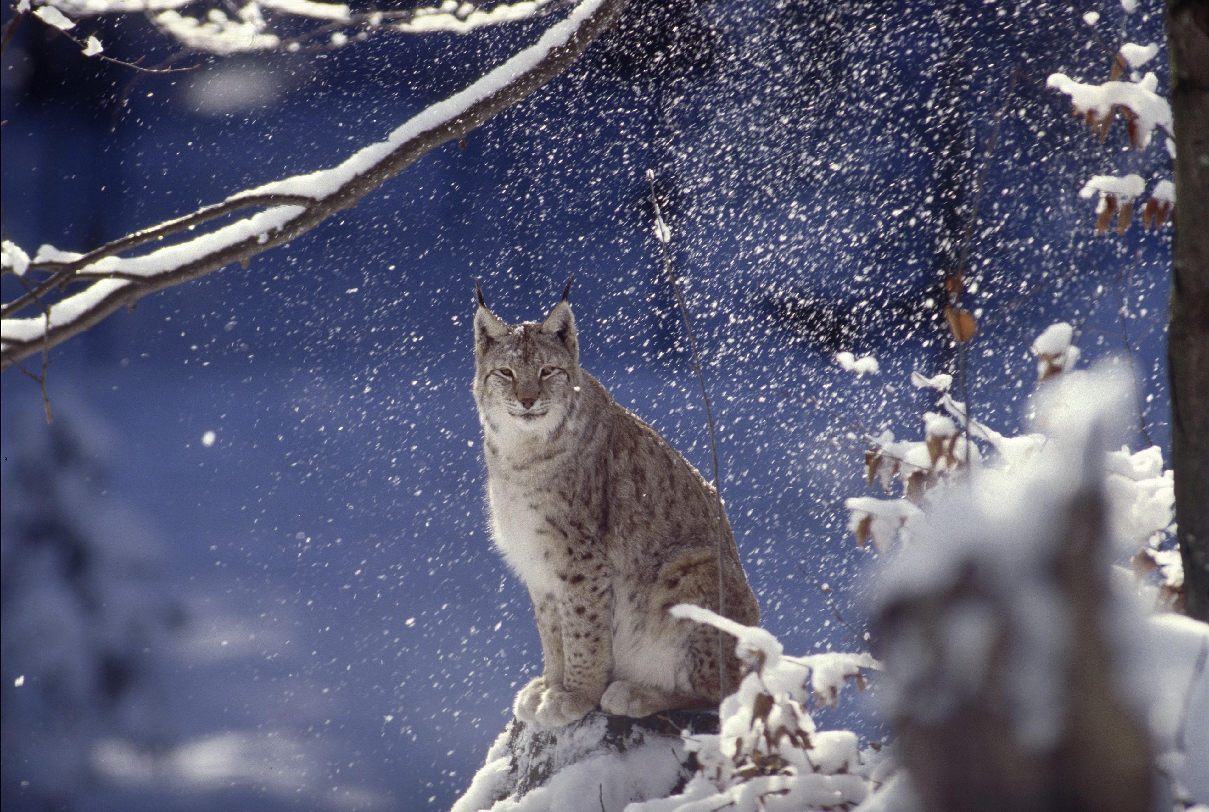 Ilves lumisessa metsässä.