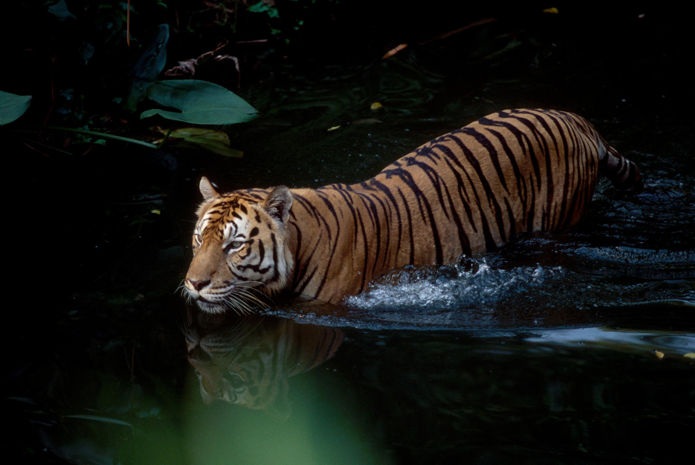 Sumatran tiikeri kahlaa vedessä
