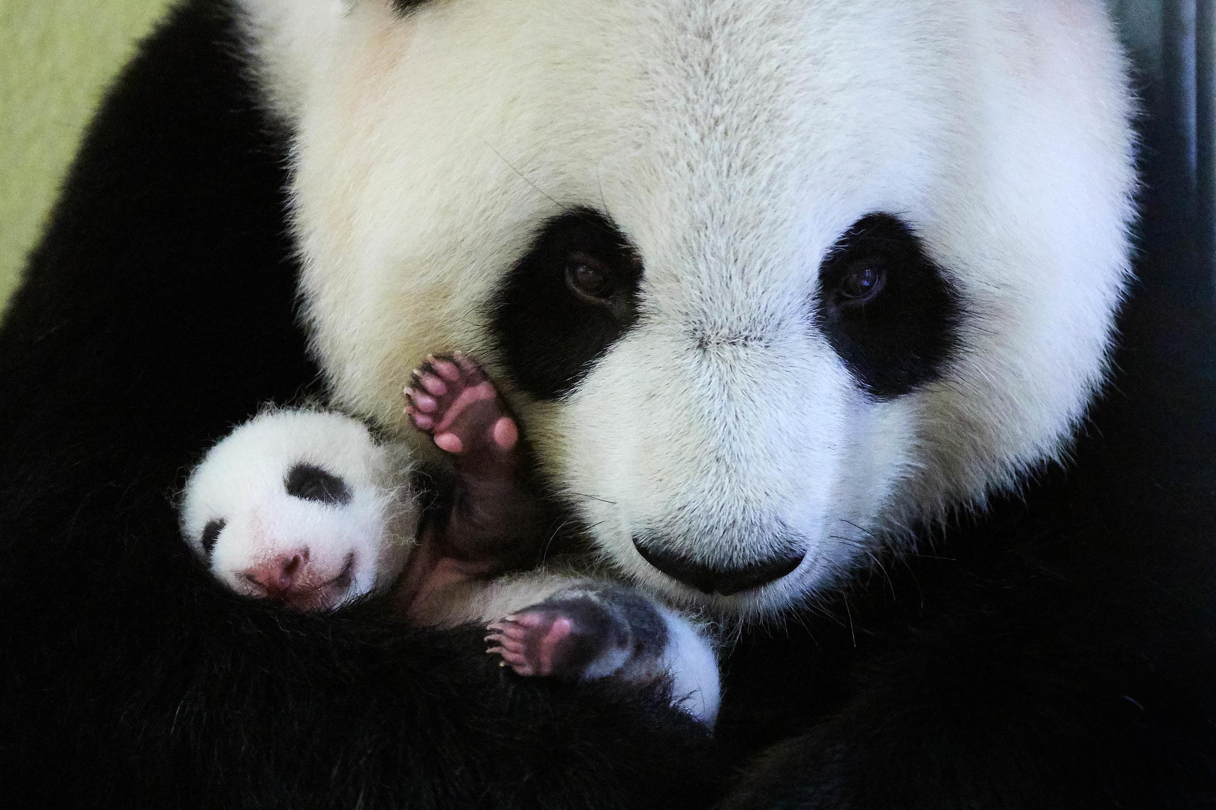Isopandaemo hoivaa pientä poikastaan pidellen sitä tassuissaan.
