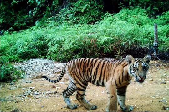 © Tiger Survey Team / WWF-Indonesia