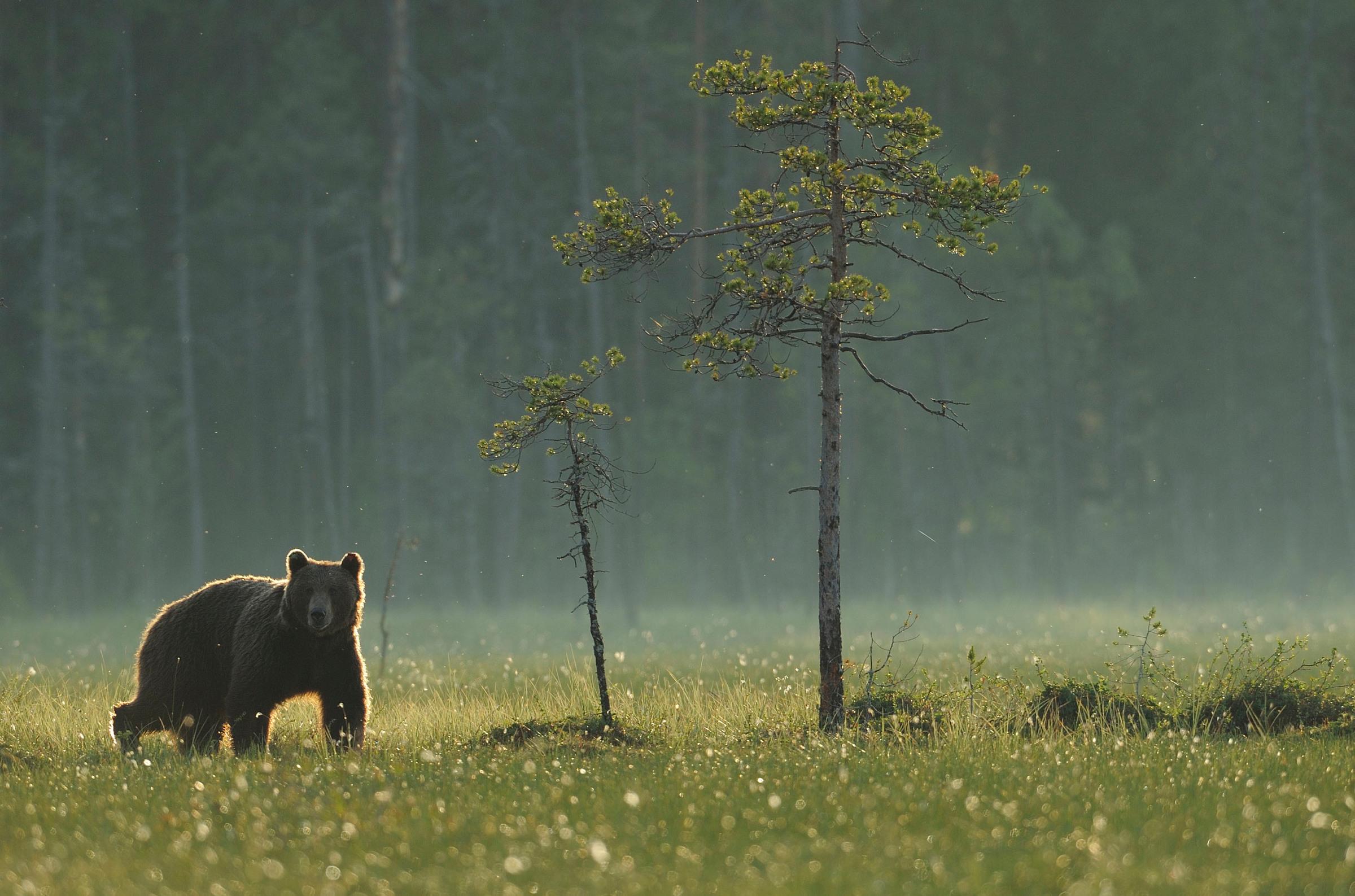 Karhu avarassa suomaisemassa Kuhmossa.