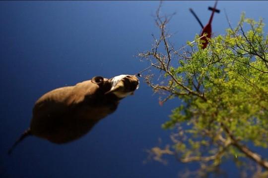Suippohuulisarvikuonoa siirretään turvallisemmalle elinalueelle Etelä-Afrikassa 2012.